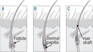 Hair Cycle